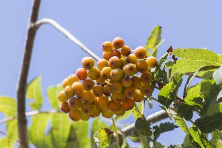 eberesche: Rowan berries on tree