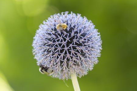 allium: allium flower in the garden