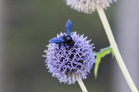 allium: bumble bee on allium flower