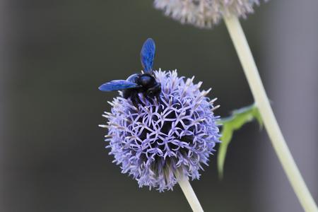 allium flower: bumble bee on allium flower