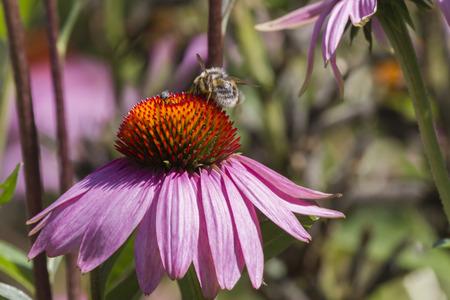 echinacea: echinacea in the garden