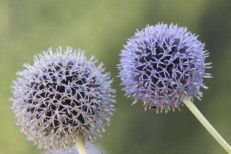 allium flower: allium flower in the garden