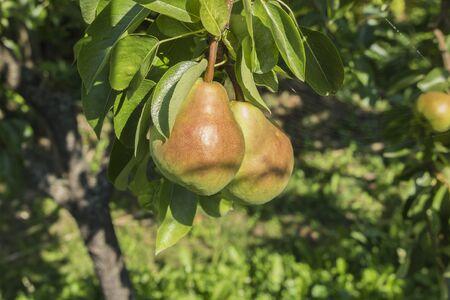 熟した: 木で熟した梨