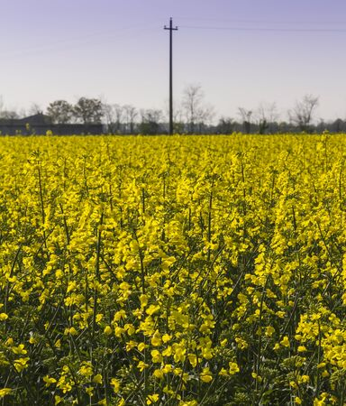 rapeseed: blooming field of rapeseed Stock Photo