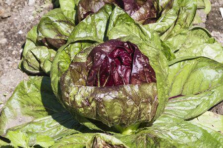 healt: lettuce in the garden Stock Photo