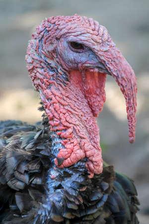 bronzed: bronzed turkey