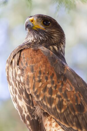 royal: royal falcon