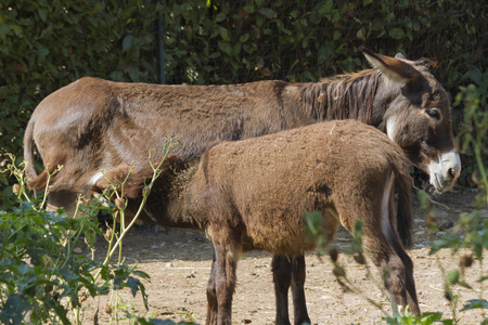 donkey suckling on the farm Stock Photo