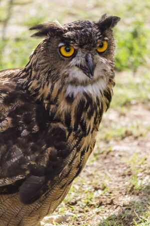 beak vulture: owl with yellow eyes