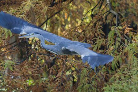 heron flying on lake in autumn