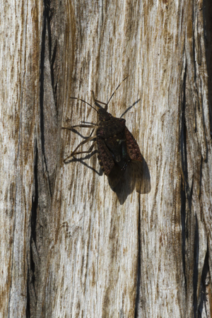 bedbug: bedbug on tree trunk