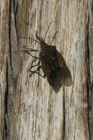 stench: bedbug on tree trunk