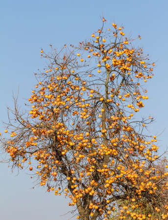 persimmons: persimmons on tree in autumn