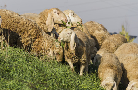 flock: flock of sheep