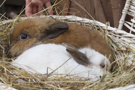 hairy legs: guinea pig