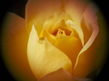 rosas amarillas: yellow roses