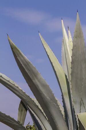 agave: planta de agave en el jardín