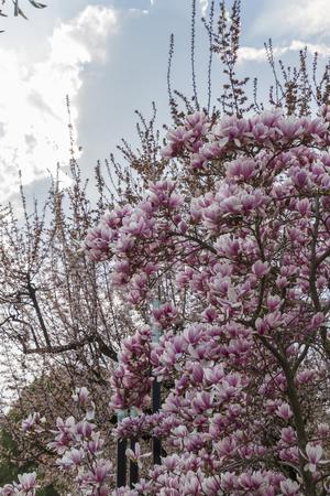 magnolia flowers: blooming magnolia flowers in spring