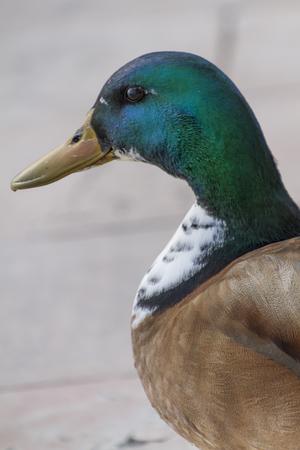 potrait: duck potrait