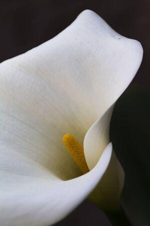 flor de lis: Lirio de cala en el jard�n Foto de archivo