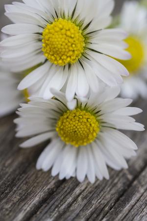 white daisies: white daisies in spring