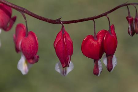 fuchsia: fuchsia in the garden