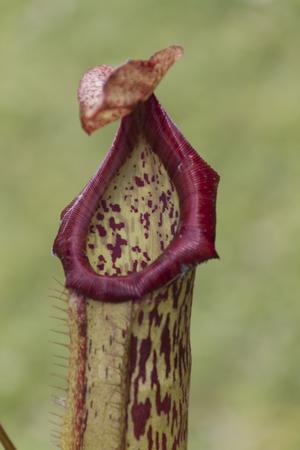 carnivorous: carnivorous plant in the garden Stock Photo