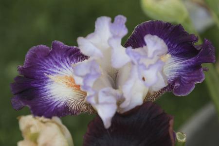 gladiolus: iris gladiolus in bloom