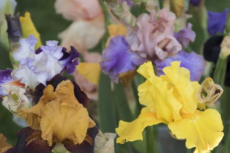 in bloom: iris gladiolus in bloom