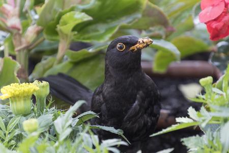 blackbird: blackbird in the garden