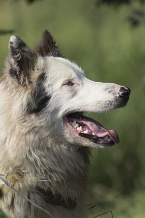 sheepdog: cute sheepdog