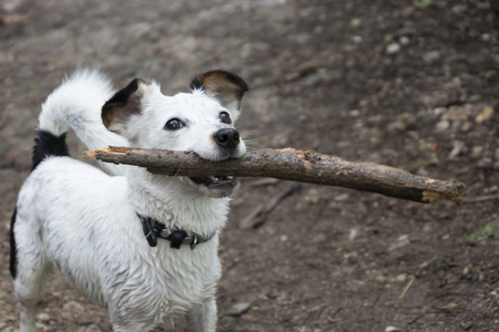 carrying: dog carrying stick in mouth Stock Photo
