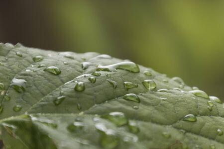 kropla deszczu: kropla na liściu