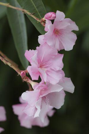 oleander: oleander in the garden