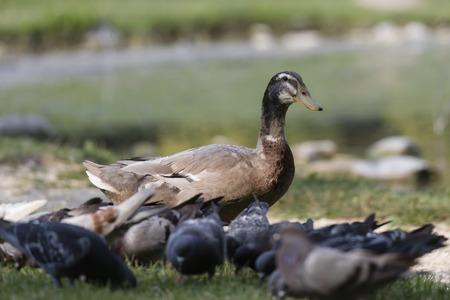 pato real: pato pato Foto de archivo