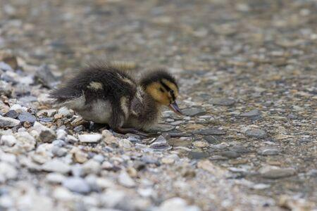 ducklings: ducklings at lake