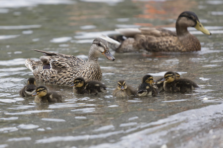 duck with her ducklings at lake Stock Photo