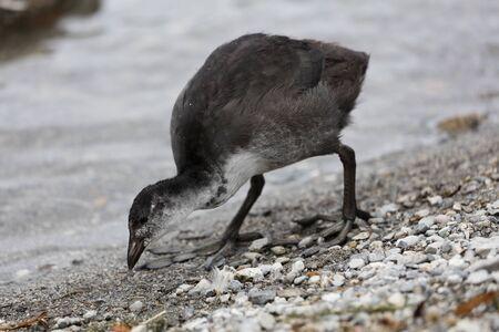 moorhen: moorhen at lake