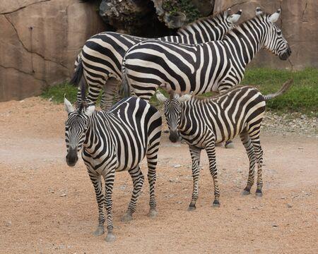 zebra in the jungle