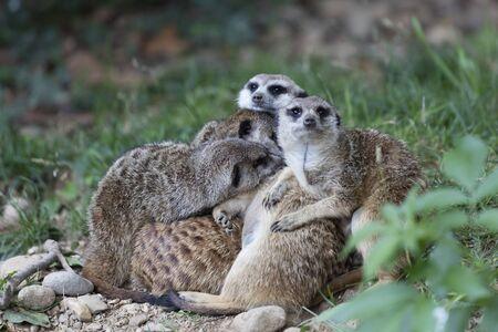 savannah: meerkats in the savannah