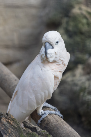 perch: cacatua parrot on its perch Stock Photo