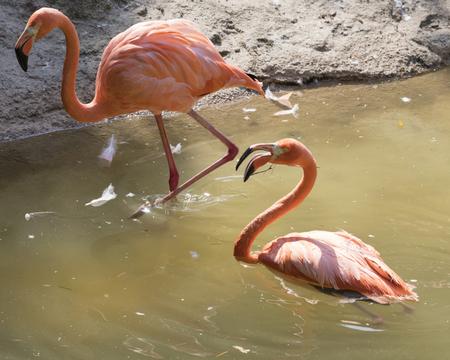 the ornithology: ruber flamingo in the farm