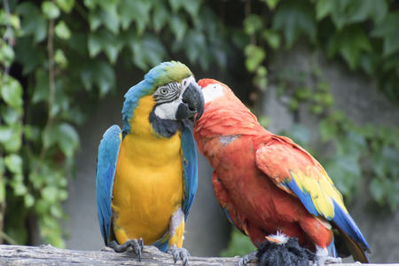 ararauna: ara ararauna and macaw parrot on its perch Stock Photo