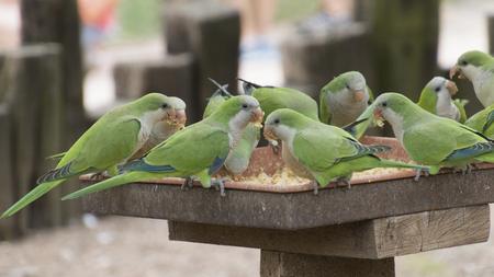 perch: parakeet parrot on its perch
