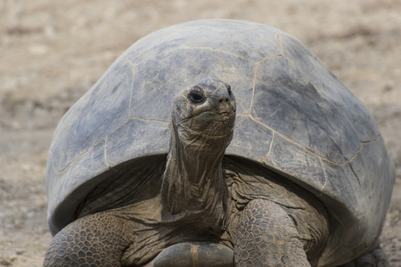 omnivore animal: big tortoise Stock Photo