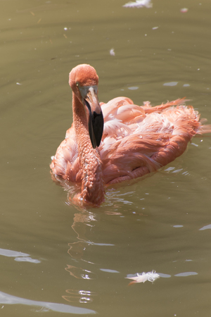 red winged: ruber flamingo in the farm