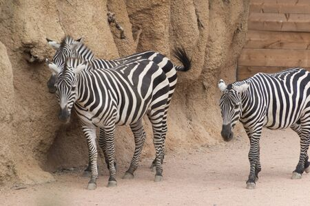 herbivores: zebra in the farm