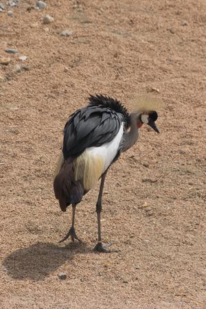 crowned crane: crowned crane bird Stock Photo