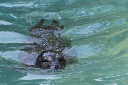 sea lion: sea lion in the water