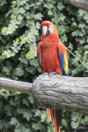 perch: ara macaw parrot on its perch